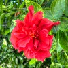 2019-10-04_1000 fzkap red hibiscus_P1380214_5_6crop