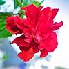 003_Red Hibiscus_2021-07-16