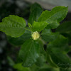 White hibiscus 2017-12-27-00309