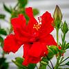 2019-02-19_m1,300,ap,iso500,BBmuti,  red hibiscus__2190020