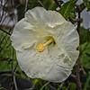 2020-11-16_02_white hibiscus