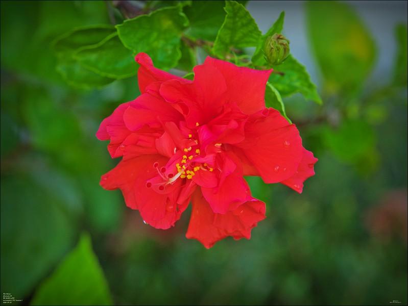 P9080005_red hibiscus