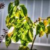 P5080006_white hibiscus