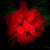 Red  Hibiscus-2017-11-09-097709