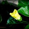 2015-09-06_DSC02686_Hibiscus,Clearwater,Fl