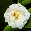 2017-08-26_P8263053_white hibiscus,clwtr