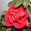 Up Close tele Roses 021508_0000
