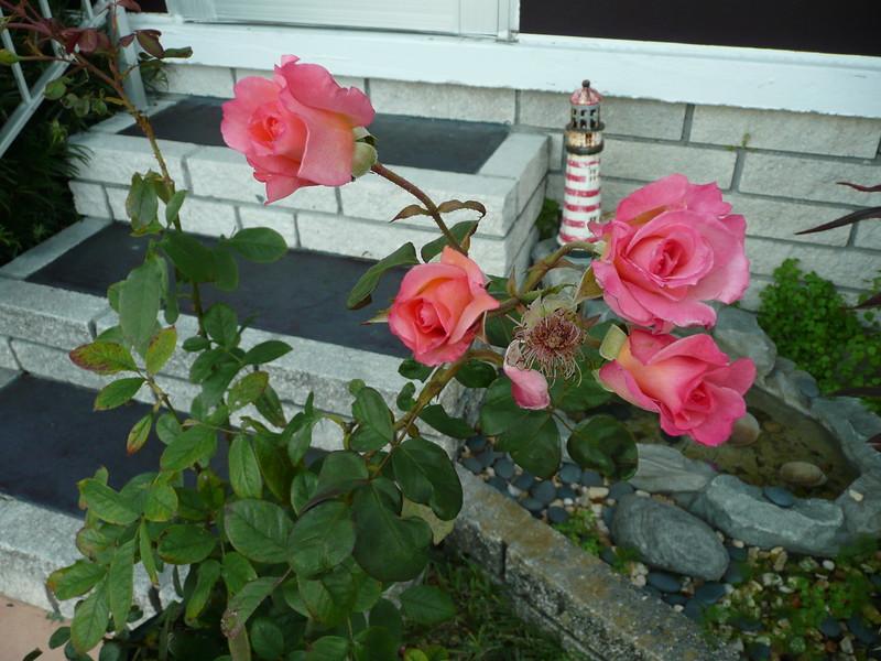 Frt rose TZ3 030908004
