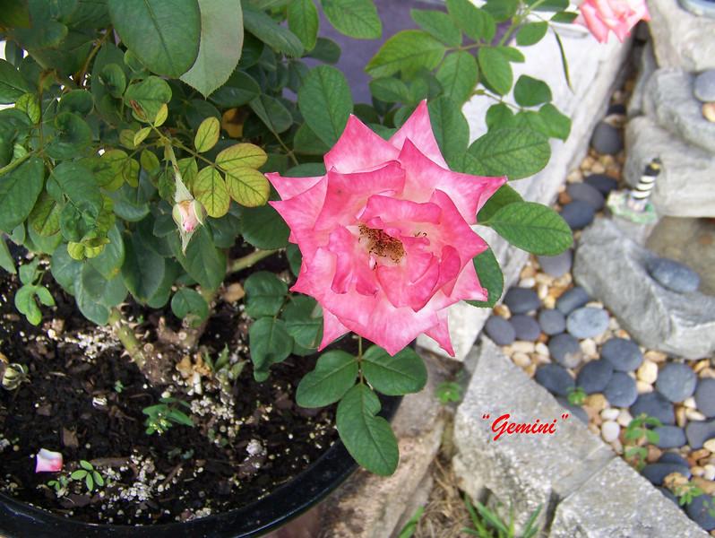 Roses NAMED 110207013