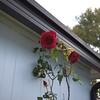 Roses 03221000004
