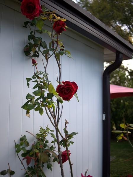 Roses 03221000005
