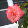 Front rose XTI sports 030508 (10)