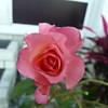 Frt rose TZ3 030908026
