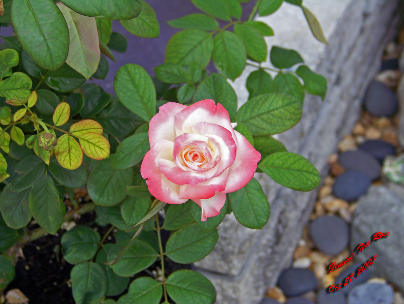 Gemini Tea Rose 2 102707002_1523