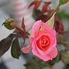 Front rose XTI sports 030508 (1) copy copy