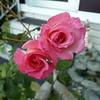 af point on rose then composed 030908003