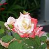 Gemini Tea Rose 102707002_1540