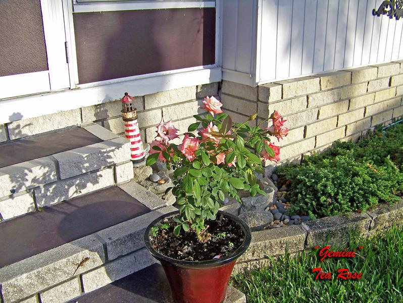 Roses NAMED 110207004