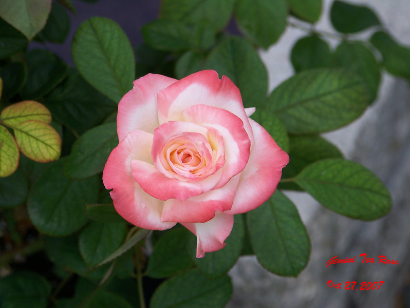 Gemini Tea Rose 2 102707003_1522