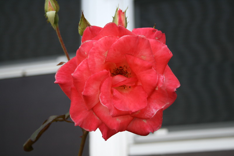 Front rose XTI sports 030508 (7)