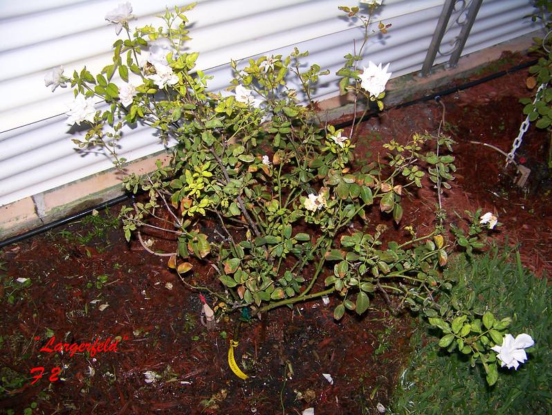 Roses NAMED 110207026