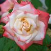 Gemini Tea Rose 2 102707004_1521
