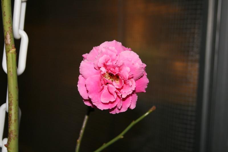 Up Close tele Roses 021508_0005