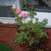 Roses NAMED 110207021