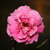 Up Close tele Roses 021508_0004