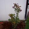 Roses NAMED 110207017