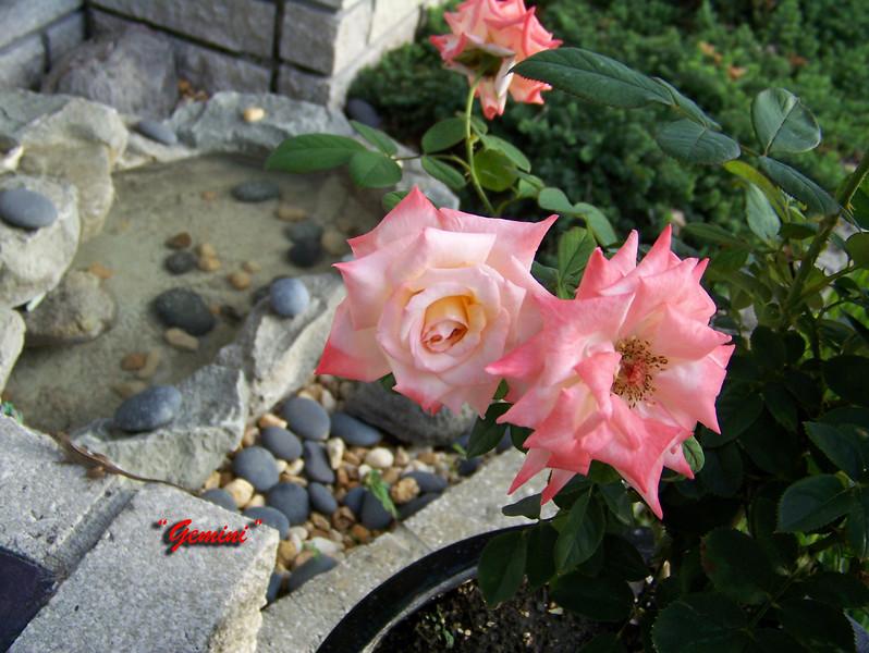Roses NAMED 110207011