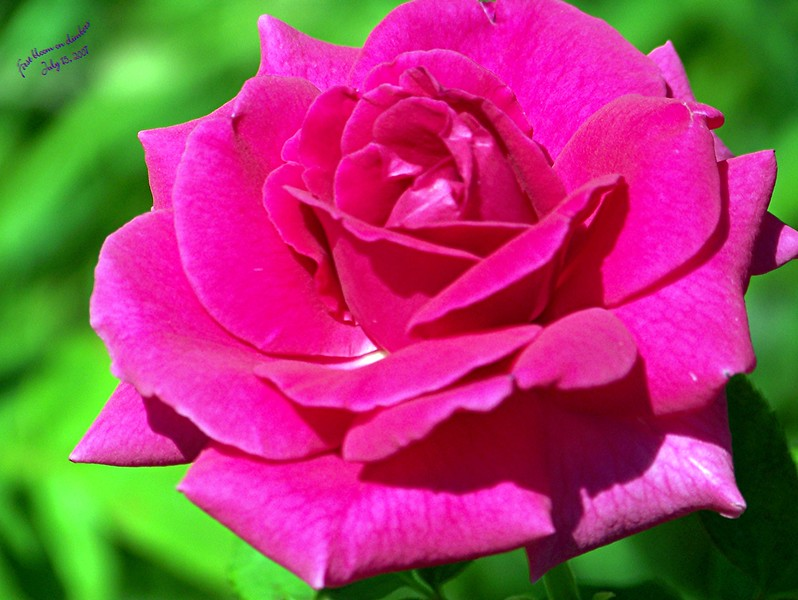 Copy_of_Roses_071507006