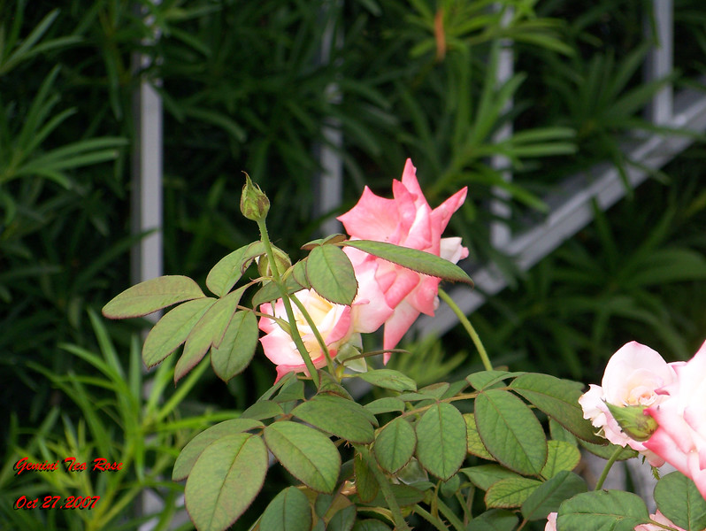 Gemini Tea Rose 102707003_1539