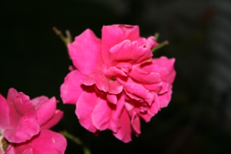 Up Close tele Roses 021508_0007