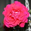 Up Close tele Roses 021508_0009