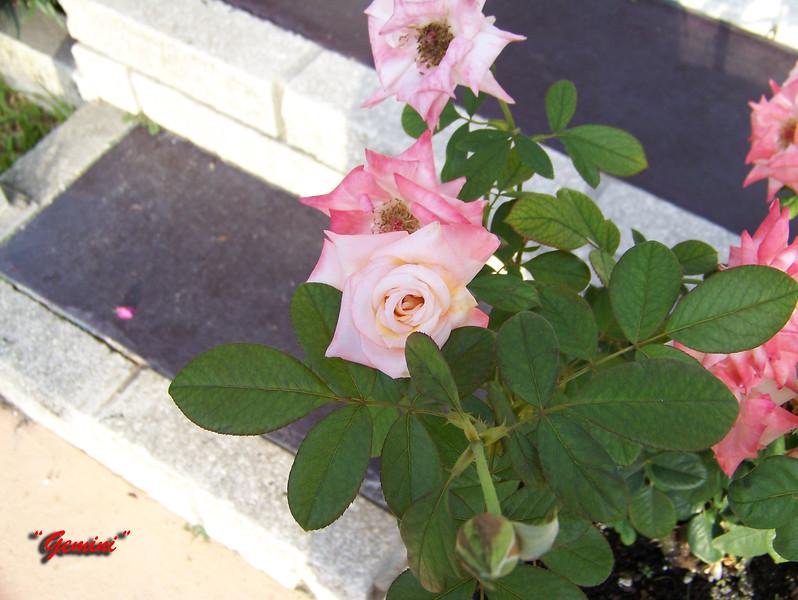 Roses NAMED 110207008