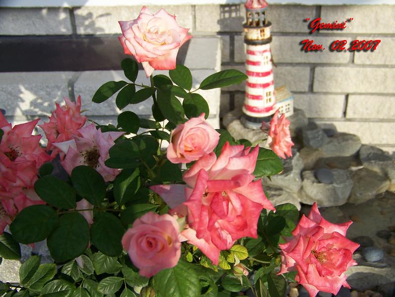 Roses NAMED 110207007