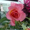 af point on rose then composed 030908002