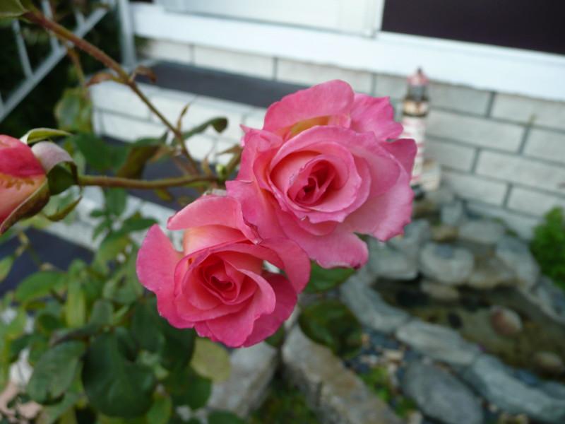 af point on rose then composed 030908005