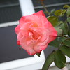 Front rose XTI sports 030508 (13)