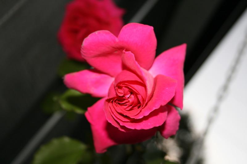Up Close tele Roses 021508_0011