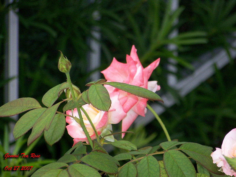 Gemini Tea Rose 102707004_1538