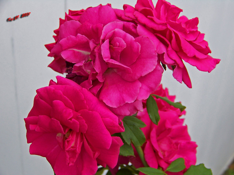 Roses side of house 102907002
