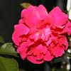 Up Close tele Roses 021508_0008