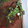 Roses NAMED 110207027