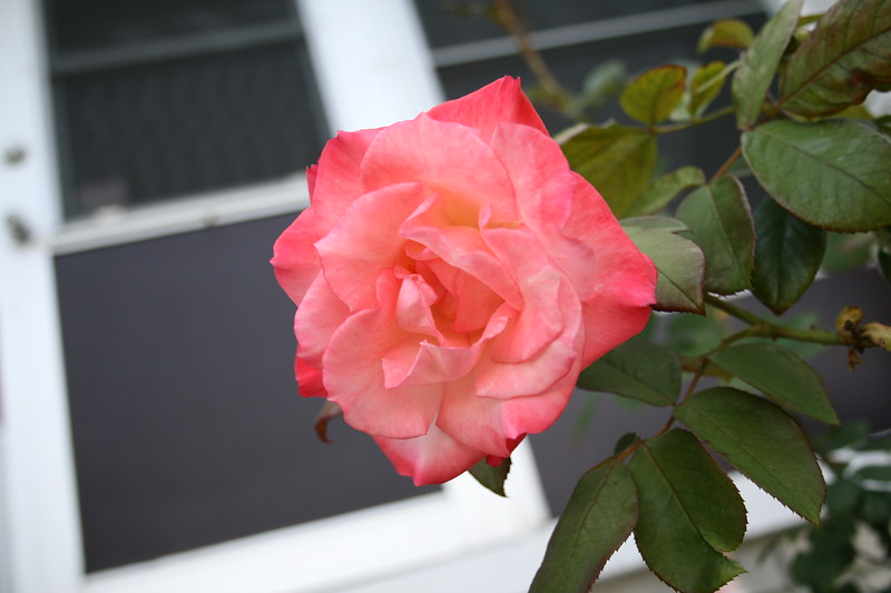 Front rose XTI sports 030508 (11)
