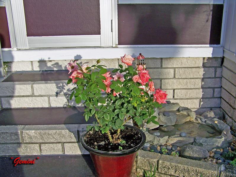 Roses NAMED 110207005