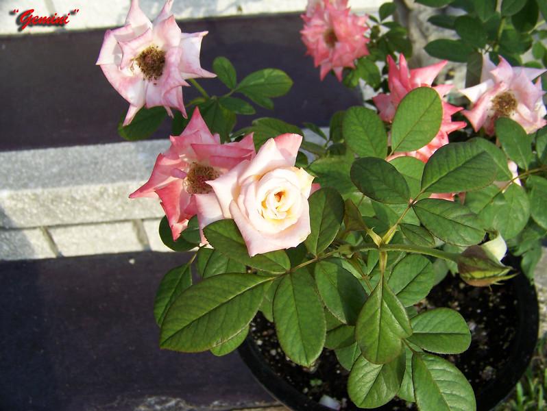 Roses NAMED 110207009