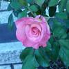 rose backpack TZ3 030808001 2