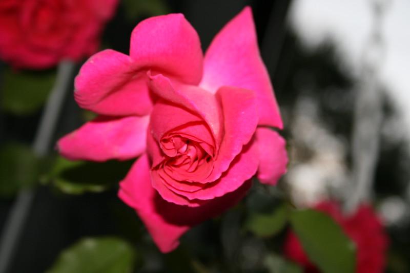 Up Close tele Roses 021508_0013